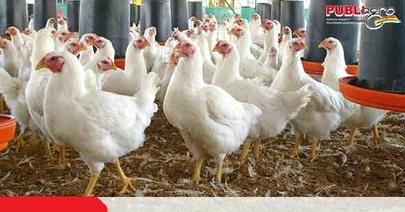 Lee más sobre el artículo Productores Avícolas sostienen que venden huevos y pollos totalmente inocuos