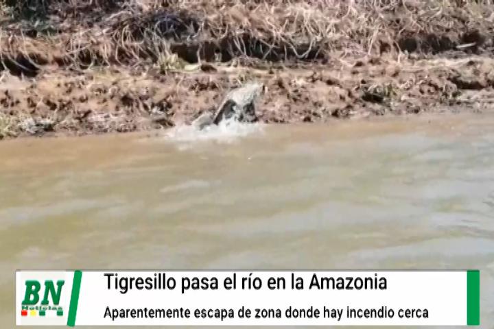 Lee más sobre el artículo Tigresillo cruza el río en la Amazonia escapando de zona donde hay incendio forestal